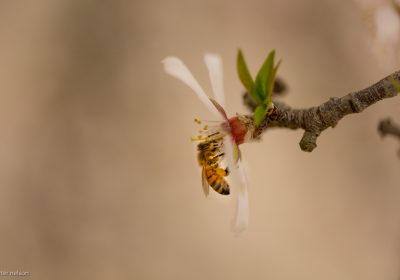Bee in an Almond Blossom from The Pollinators